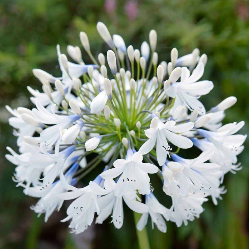 Agapanthus Queen Mum African Lily Agapanthus Plant Agapanthus Flowers Perennials