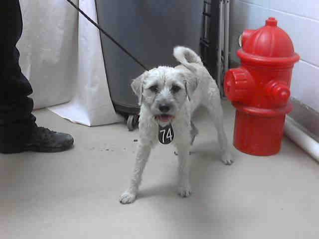 No Longer Listed Texas Id A397407 Is A Border Terrier Mix In Need Of A Terrier Mix No Kill Animal Shelter Border Terrier