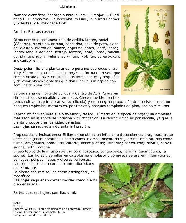Llanten Con Imagenes Hierbas Hierba Medicinal Plantas