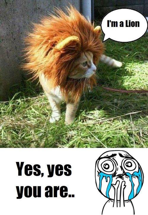 a946c49b849509e2a8d6127c25a55dd1 cuteness overload meme im a lion jpg (500×727) kitties! pinterest