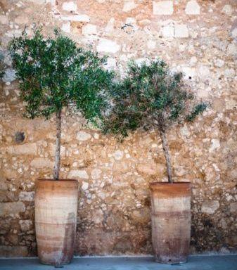 Olivo en maceta outdoor spaces pinterest olivo - Olivo en maceta ...