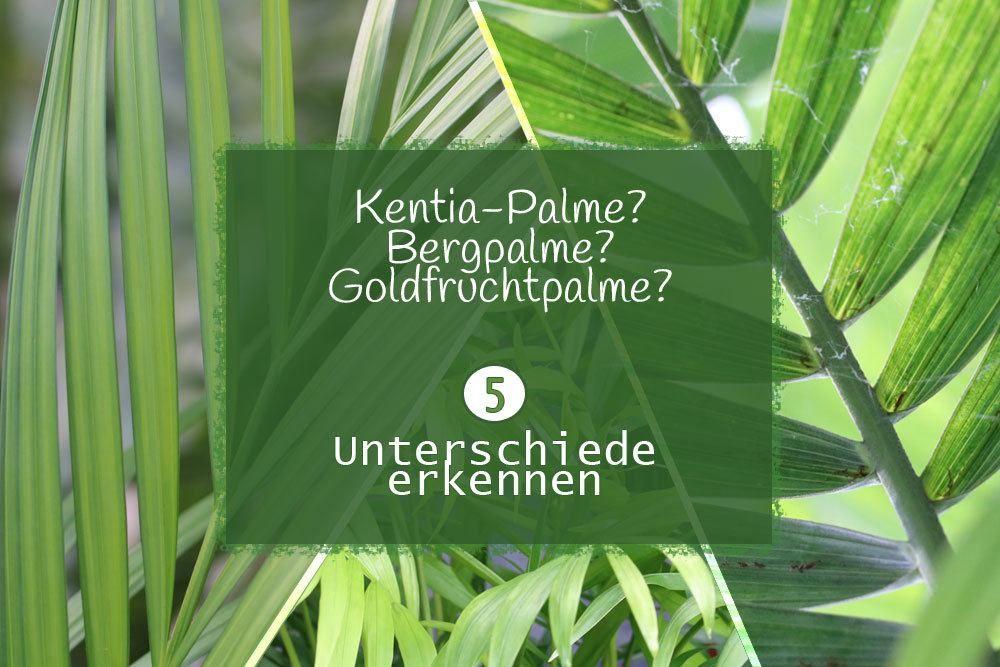 Kentia Palme Bergpalme Und Goldfruchtpalme Ahneln Sich Stark Hier Erfahren Sie Wie Sie Die Palmen Erkennen Konnen Und Welche U Bergpalme Kentia Palme Palmen