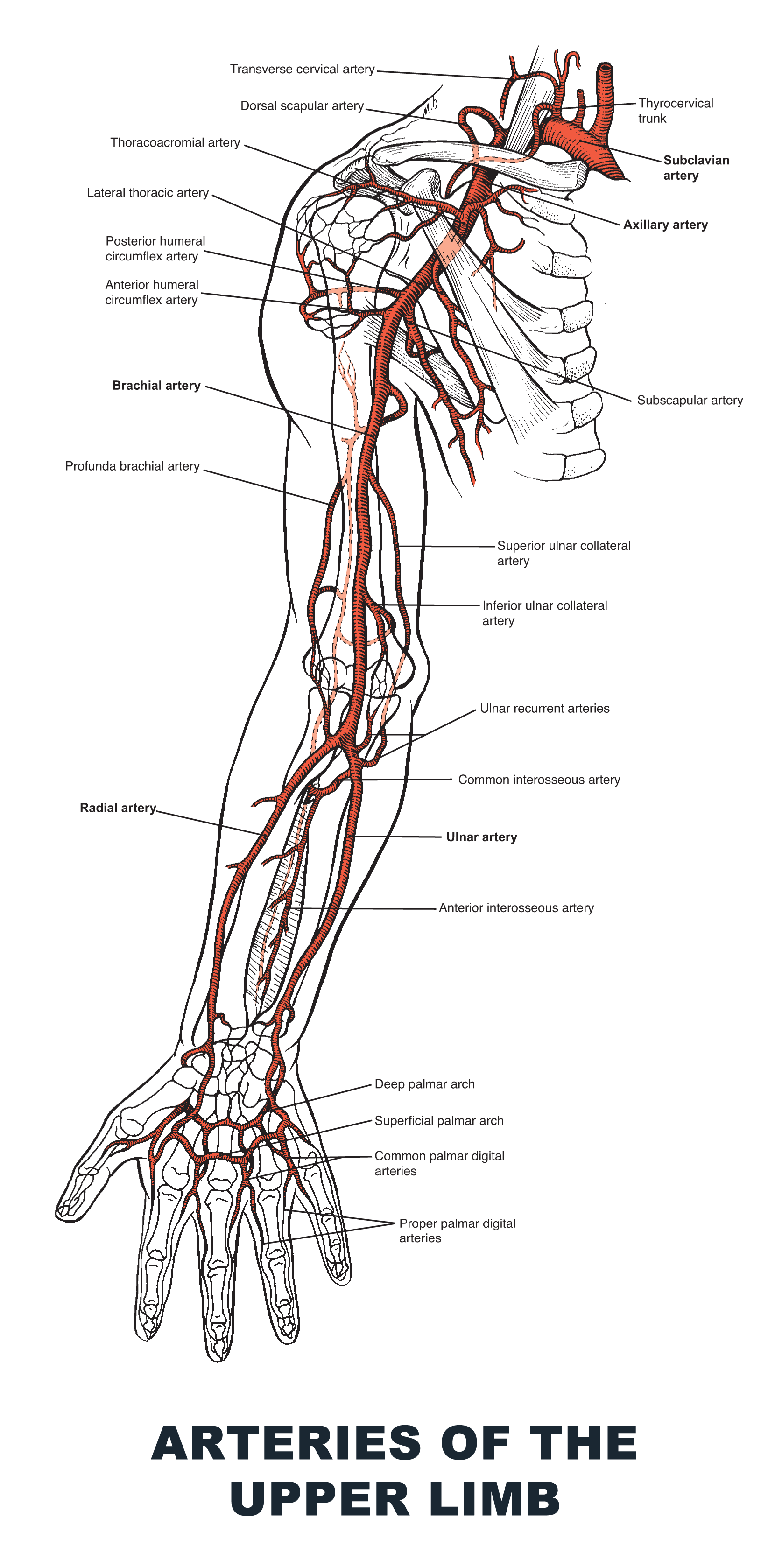 Arteries of the Upper Limb - #anatomy images illustrations #anatomy ...