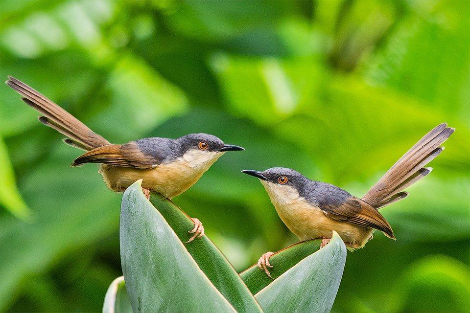 Ashy Prinia by Shishir Saksena, Bangalore Bird feathers