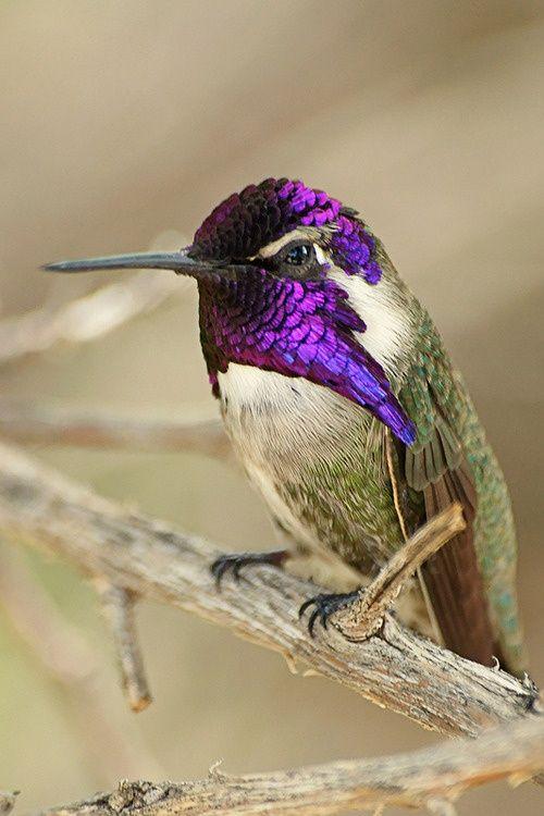 Costa's Hummingbird. What fabulous headgear ya got there...