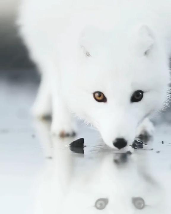 Magnificent White Fox