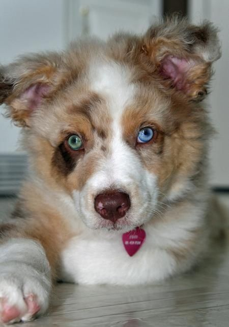 Community Post 20 Australian Shepherd Puppies That Are So Adorable You Might Just Exp Australian Shepherd Puppies Australian Shepherd Dogs Australian Shepherd