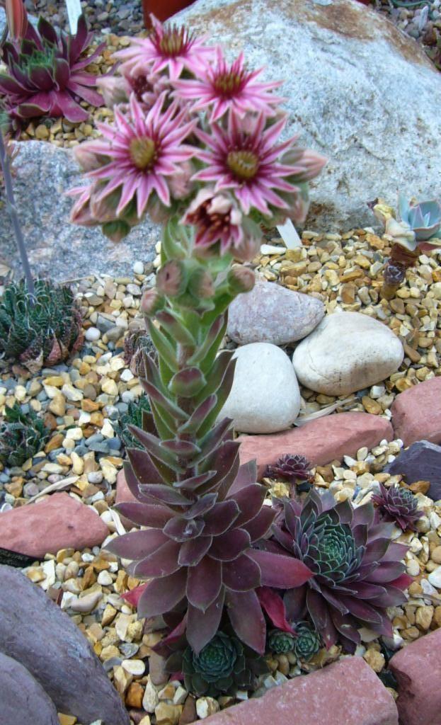 Sempervivum 'Ohio Burgundy' ... wold look great in my slate rock / succulent plants garden!