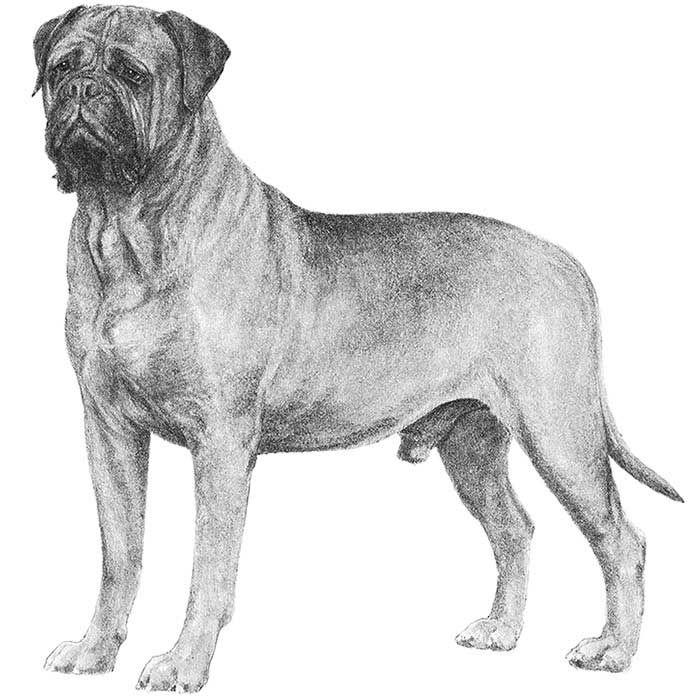 Bullmastiff Dog Breed Information Akc Breeds Dog Breeds