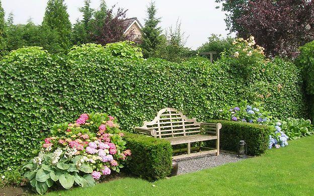 Hecke pflanzen gartenged ns pinterest hecke pflanzen - Sichtschutz buro ...