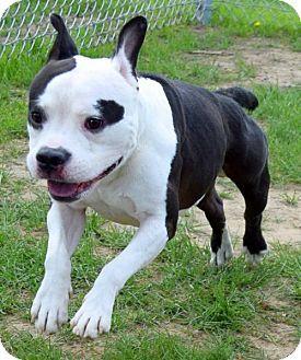 Westampton Nj American Staffordshire Terrier Boston Terrier Mix