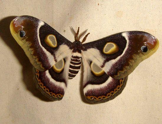 Epiphore bauhiniae - female.
