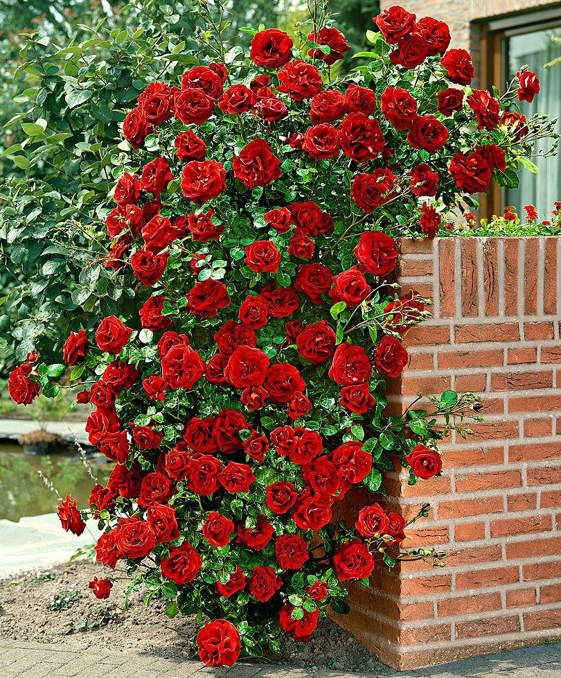 Climbing rose santana roses from spalding bulb garden for Cespugli giardino