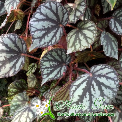 Begonia Luzonensis 10 Plants Rare Flowering Specie Plant From Philippines Begonia Plants Species