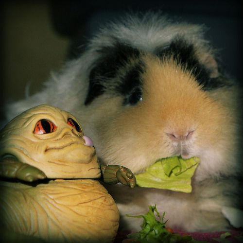 Our Guinea Pig, Hans Solo  -  (He's the one on the right...)