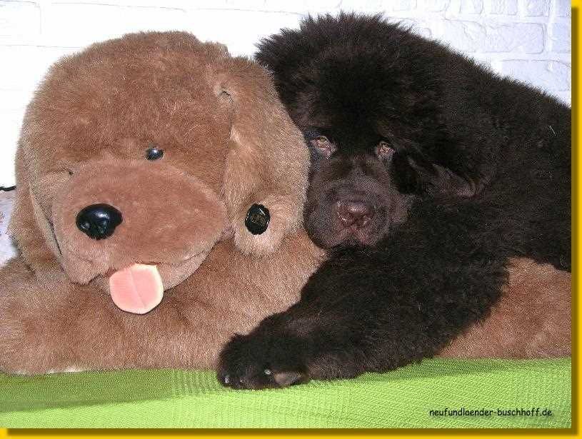 Brauner Neufundlander Welpe Velvet Brownie Neufundlander Hunde Tiere