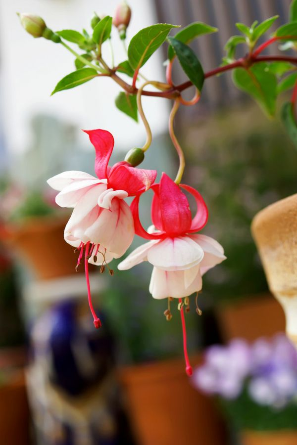 Tips For Growing Fuchsia Plants Fuchsia Plant Fuchsia Flowers Indoor Flowers