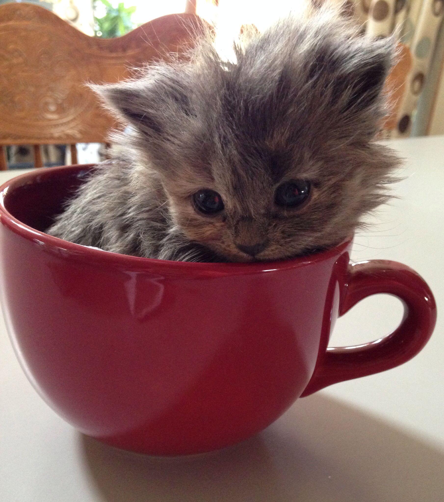 Dior teacup kitten mini animals Pinterest