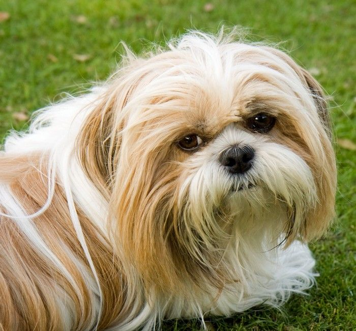 Best Small Breed Hypoallergenic Dogs Shih Tzu Dog Toy Dog