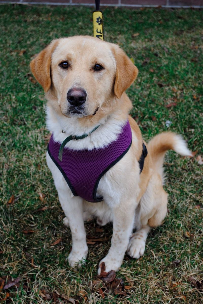 Adopt Samson on pup Great pyrenees, Dogs, Labrador
