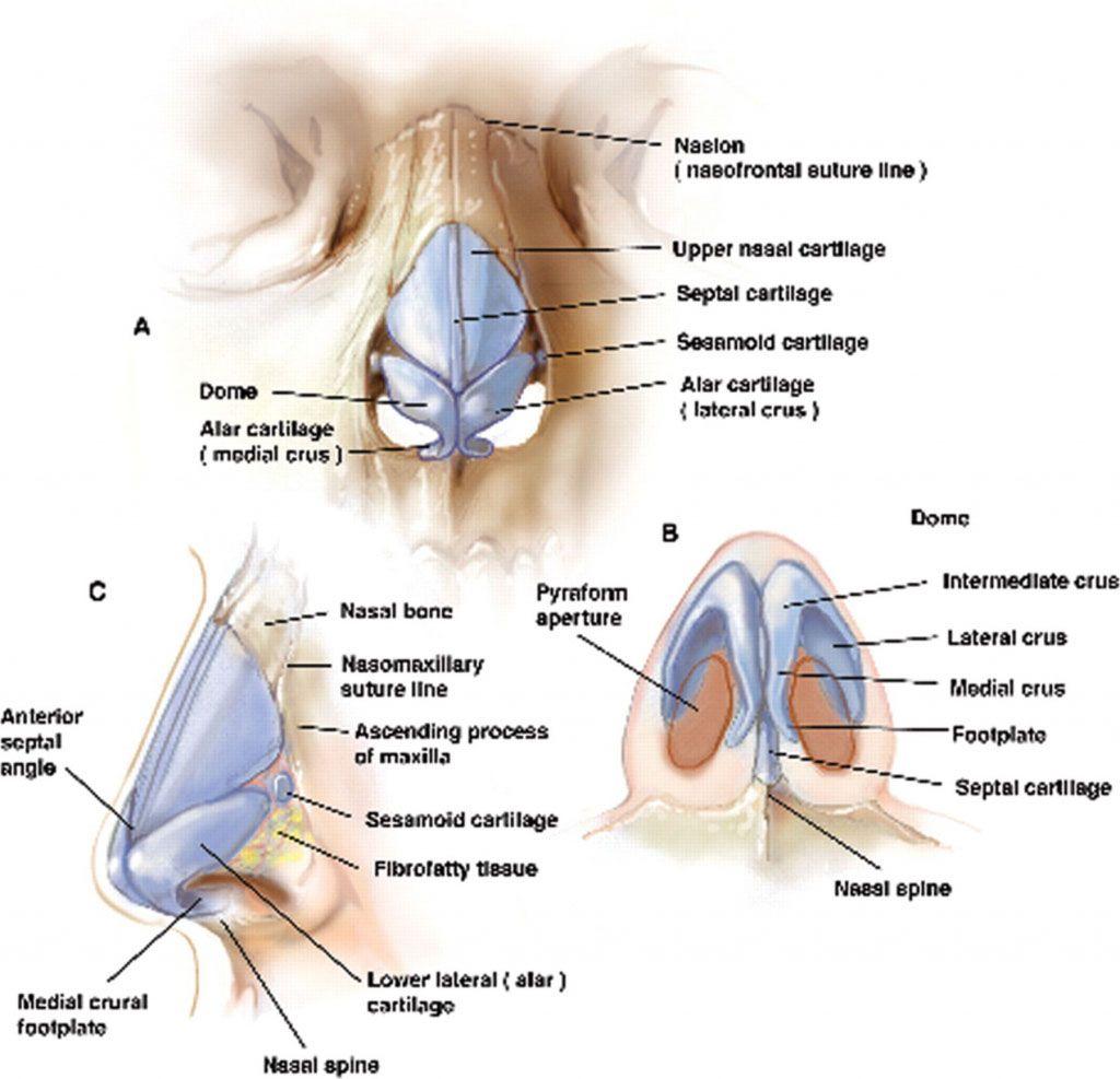 Nose bone anatomy - www.anatomynote.com | Anatomy note world ...