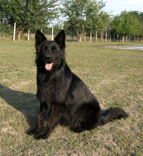 Large black german shepherds for sale