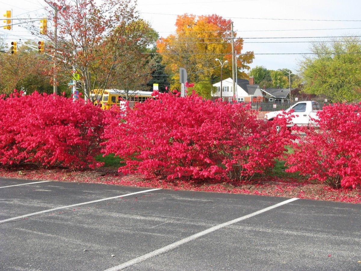 Bright Red Shrubs Friesner Herbarium Blog About Indiana Plants Red Shrubs Shrubs Herbarium