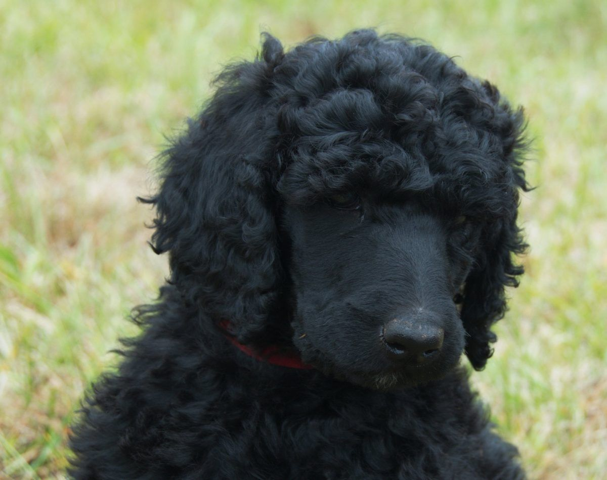 Rosebud Akc Poodle Puppy For Sale In Clearwater Florida