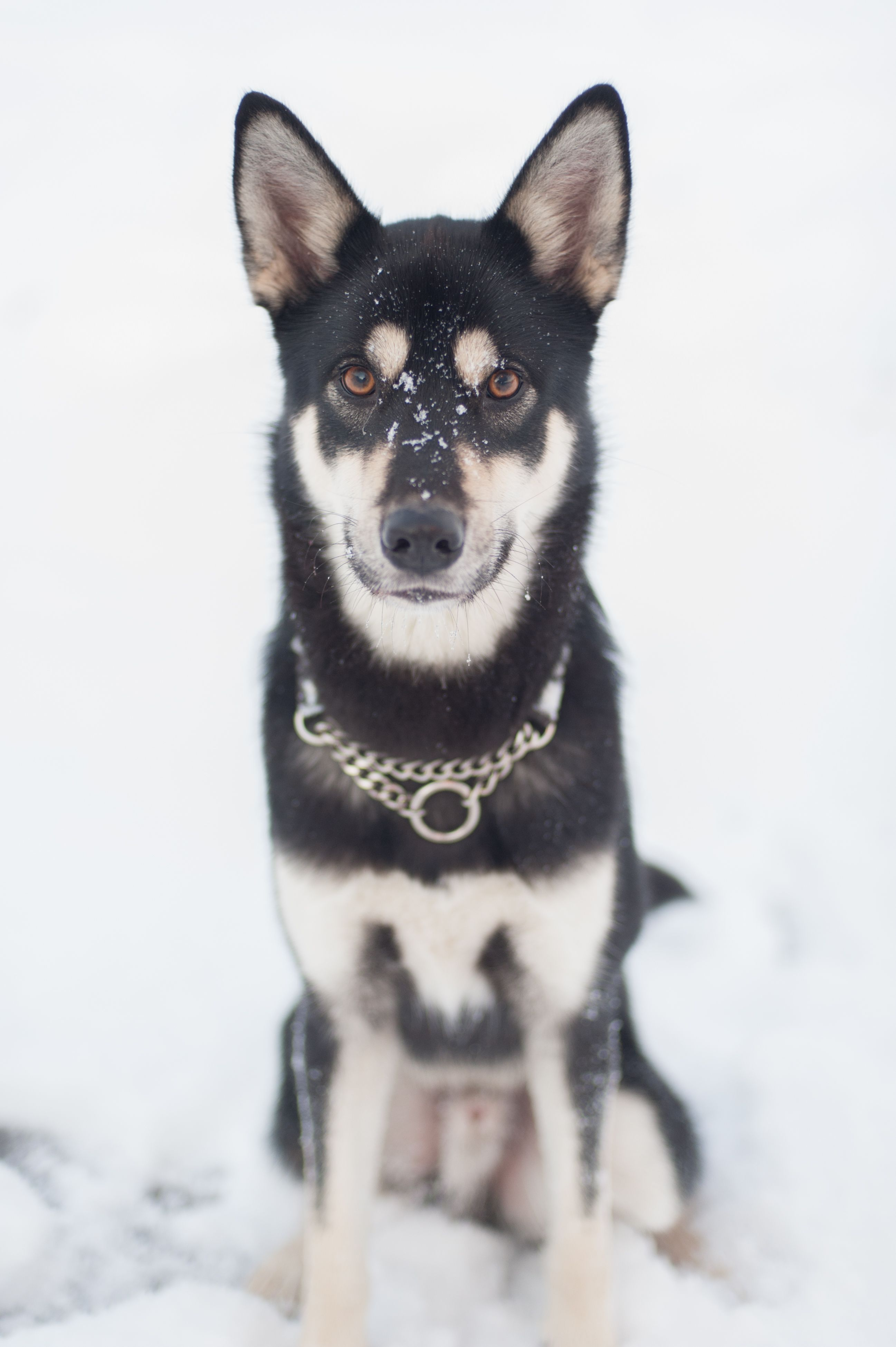 Shadow The Jindo My Black Tan Rescue Puppy From South Korea