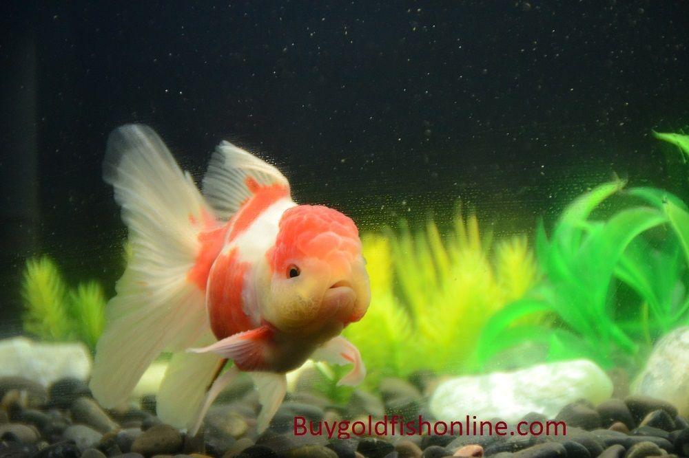 Red And White Thai Oranda Goldfish Buygoldfishonline Com