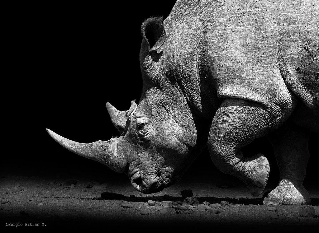 Resultado de imagem para rhinoceros black and white