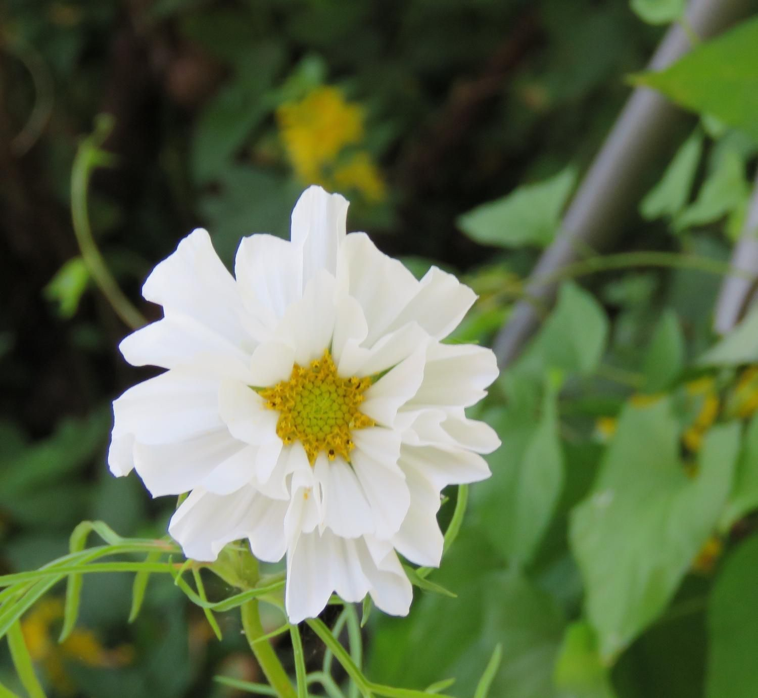 Double white cosmos seeds cosmos seeds and perennials best double white cosmos seeds for sale multiple petals on this white cosmos make it izmirmasajfo Gallery