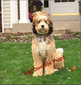 Big Doodle Pups | Leonberger | Pup, Doodles, Dogs