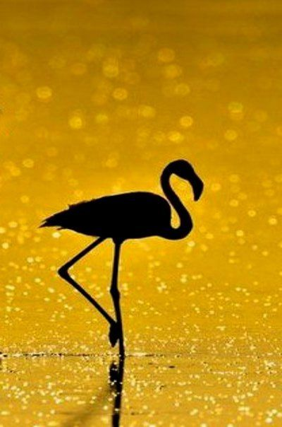 Flamingo In Black And Gold Yellow Photography Shades Of Black Flamingo Photo