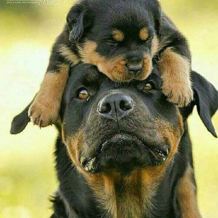 Rottweiler Puppy Rottweiler Puppies Animals Beautiful Dog Friends