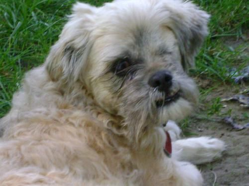 HANSEN is a neutered male Shih-Tzu, 14 pounds and 6.3 years old.  He's house-trained and good with dogs and kids.  Hansen was found as a stray in terrible condition; he lost one eye and has only limited vision in the other.  Daily eye drops required and easily received.  Neither his history, nor his blindness affect his ability to be a happy, healthy and loving dog!  Do you see what we see in this little guy?  Spread the word…