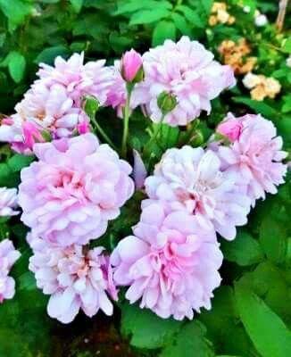"""""""本日の薔薇""""  ^^ 「ブラッシュ・ノワゼット 」 Blush Noisette  アメリカ P.Noisette 作 1814年    小輪の花が無数に咲くノワゼット系の代表種。剪定すれば、真夏でも咲き続ける。とくに温暖な気候での生育や花つきはよく、病気にも強い。   花径:8cm 樹高:2m 花色:淡いピンク 花季:四季咲き その他:強香⇒香りのするバラです 系統:ノアゼット  ❁~❁~❁ 12月~2月は バラの""""秋大苗""""の定植適期です ❁~❁~❁  オールドローズから人気のモダンローズ、F&Gローズまで「日本のバラのパイオニア京阪園芸」の特選秋大苗が、こちらサイトでお買い求め頂けます! ⇒ http://www.keihan-engei-gardeners.com/fs/keihangn/c/akinae"""