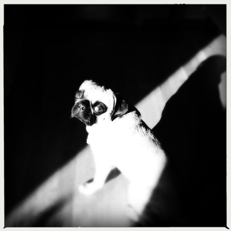 Artistic lola pug love pinterest
