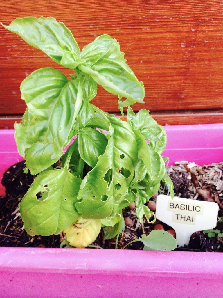 Un autre semis de basilic en décembre, mais du basilic