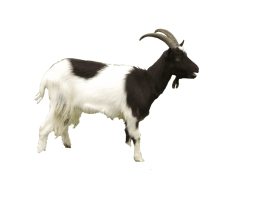 Download Goat Png Images Background Png Free Png Images Goats Animals Png