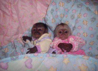 Capuchin Monkeys For Sale Google Search Pet Monkey