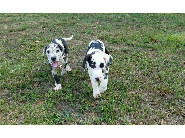 Euro Great Dane Puppies Ready For You Now Great Dane Puppy