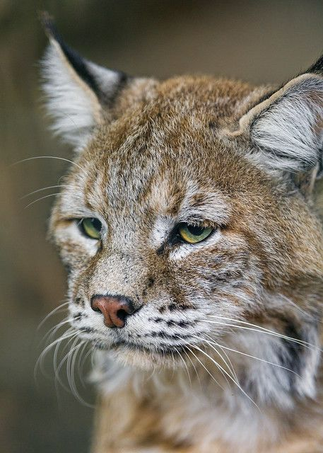 Last portrait of the sleepy lynx