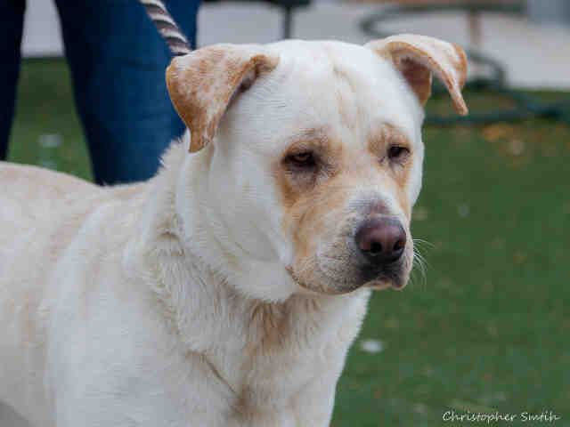 A1728662 Olffo Is A Happy 1 Year Old Male Yellow Labrador
