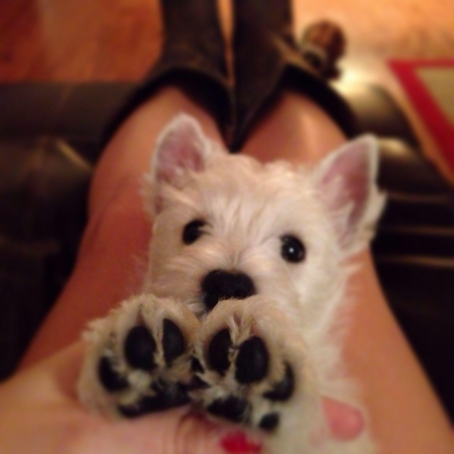 Westie Puppy Westie Puppies Puppy Paws Most Beautiful Dog Breeds