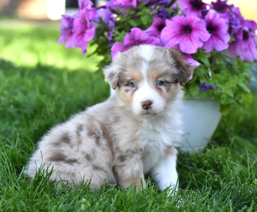 Pin By Social On Cute Animals Australian Shepherd Puppies