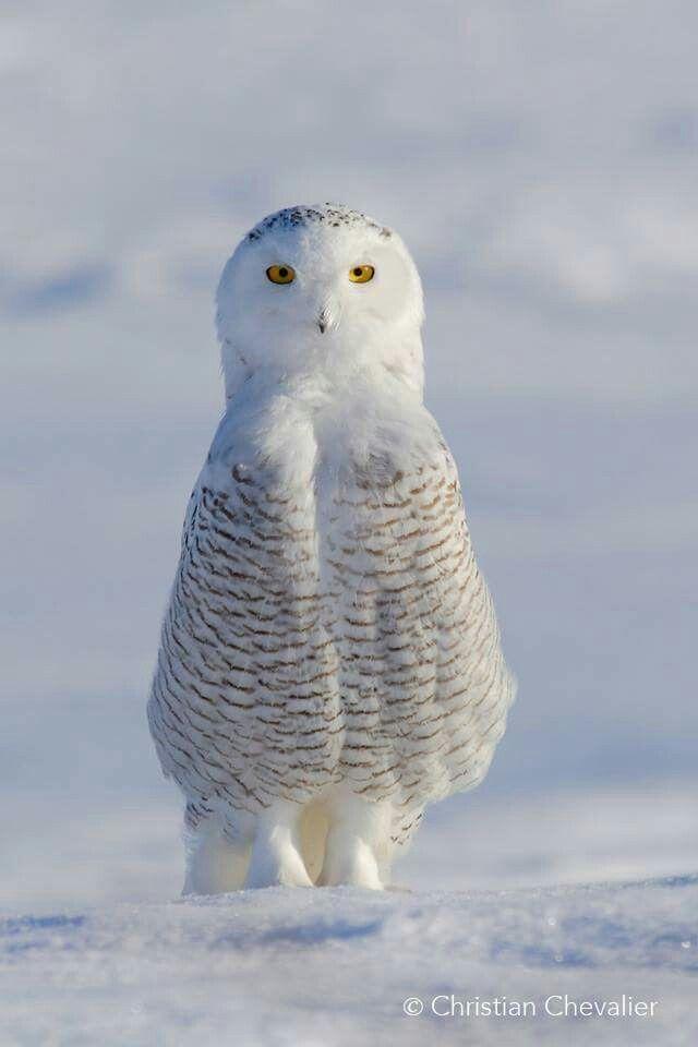 """Snowy doll"" From Quebec,Canada snowy owl like a little doll ! Christian Chevalier www.facebook.com/christian.chevalier.photographe"