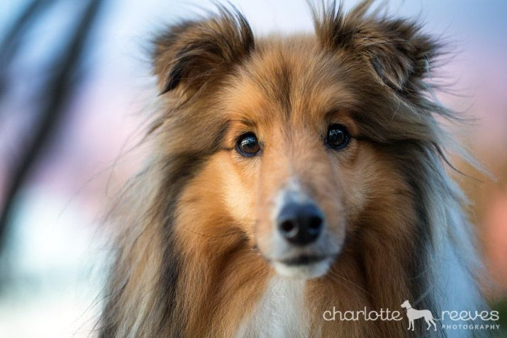 Archie The Sheltie In Canberra