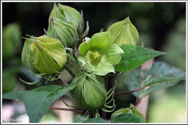 Rose Of Sharon Seed Pods Seeds Seed Pods Seeds Rose Of Sharon