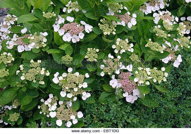 Garden hydrangea, Lace cap hydrangea (Hydrangea macrophylla 'Libelle', Hydrangea macrophylla Libelle), cultivar - Stock Image